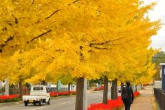 秋になると黄色く鮮やかに染まるイチョウ並木(昨年10月22日、音更町木野北通で)
