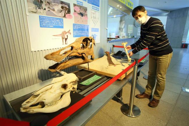 恐竜の化石と現代の動物の比較も 足寄動物化石博物館でロビー展