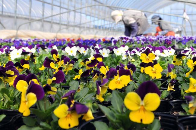 遠景近景(37)「芽室 シニアワークセンター 10日から花苗販売」