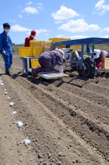 専用の機械を使った種イモの植え付け作業