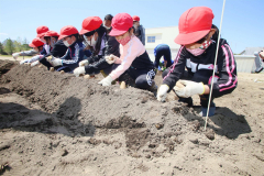 JA青年部の指導で児童が種イモ植える 本別中央小 2