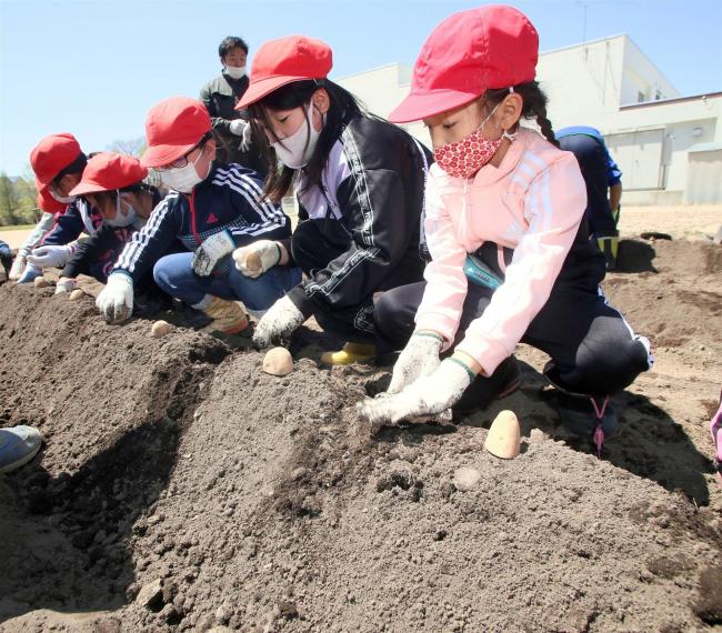 JA青年部の指導で児童が種イモ植える 本別中央小
