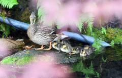 7羽のマガモの子すくすく 自由ケ丘温泉 2