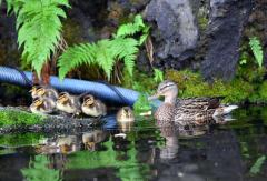 7羽のマガモの子すくすく 自由ケ丘温泉 3