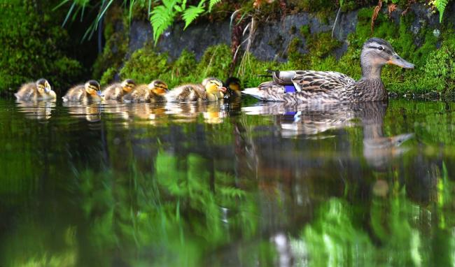 7羽のマガモの子すくすく 自由ケ丘温泉