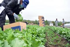 幕別町で始まったレタスの収穫作業(19日午前9時20分ごろ)