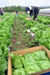幕別町で始まったレタスの収穫作業(19日午前9時40分ごろ)