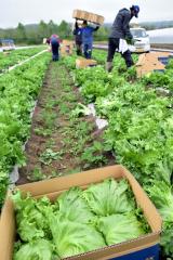 幕別町で始まったレタスの収穫作業(19日午前9時45分ごろ)