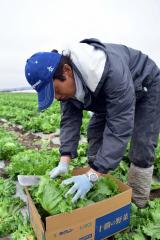 レタスを収穫し、箱詰めする生産者(19日午前9時25分ごろ)