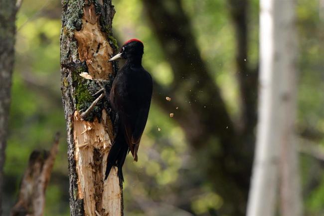 天然記念物のクマゲラ 朽ち木をつついて採餌 上士幌
