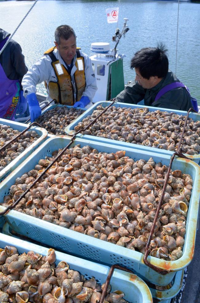 広尾漁協のエゾバイツブ漁スタート