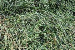 栄養満点、一番牧草の収穫開始 5
