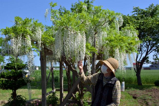 白い藤の花見頃 音更