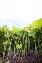足寄 ラワンブキ収穫始まる 3