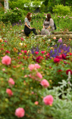 色も香りもさまざまなバラが咲き誇っている十勝ヒルズのローズガーデン(塩原真撮影)