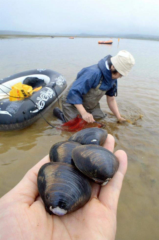 年に1日のみ、生花苗沼で特大シジミ漁 大樹