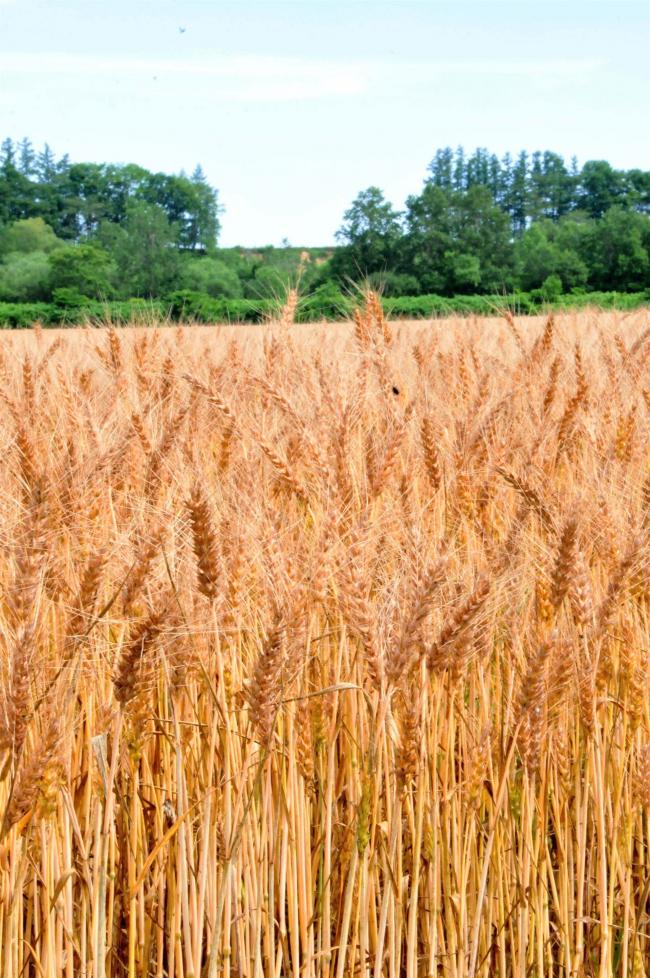 もうすぐ収穫、「平年作以上」を期待 管内の秋まき小麦