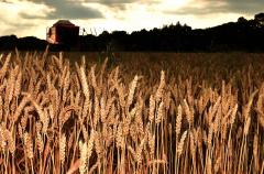 夕空の下で行われる小麦の収穫作業(19日、芽室町西士狩で。塩原真撮影)