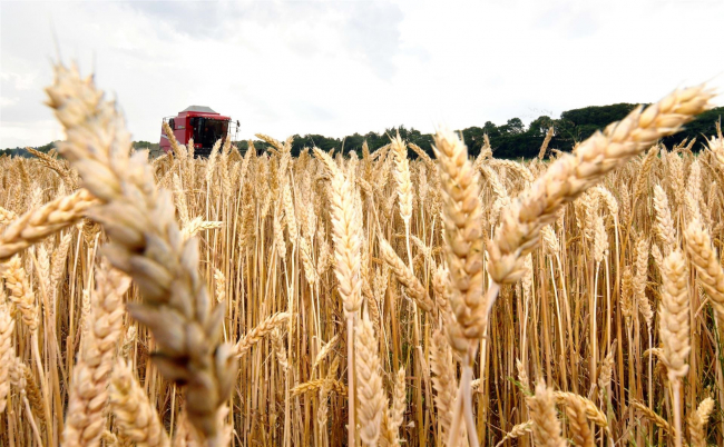 猛暑で一気に「黄金色」 十勝で小麦収穫スタート
