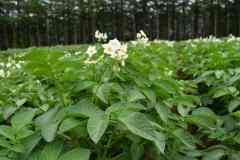 白い花を咲かせるトヨシロ