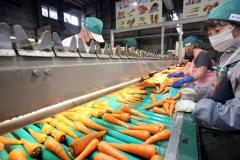 収穫したニンジンの選別作業(26日午前9時半ころ、助川かおる撮影)