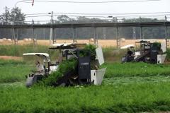 音更町内で始まったニンジンの収穫(26日午前10時15分ころ、助川かおる撮影)