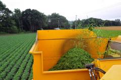 サヤインゲン収穫始まる、JAめむろ 3