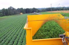 サヤインゲン収穫始まる、JAめむろ 4