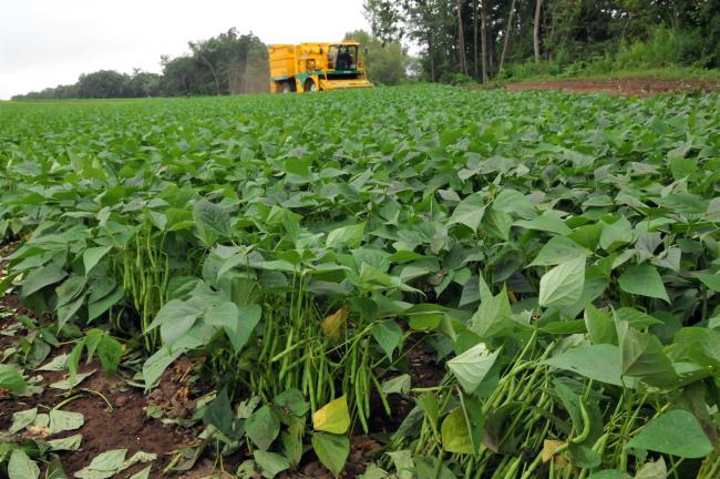 サヤインゲン収穫始まる JAめむろ