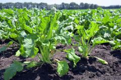 総じて順調に生育している十勝の農作物(3日、帯広市川西地区のビート畑。金野和彦撮影)