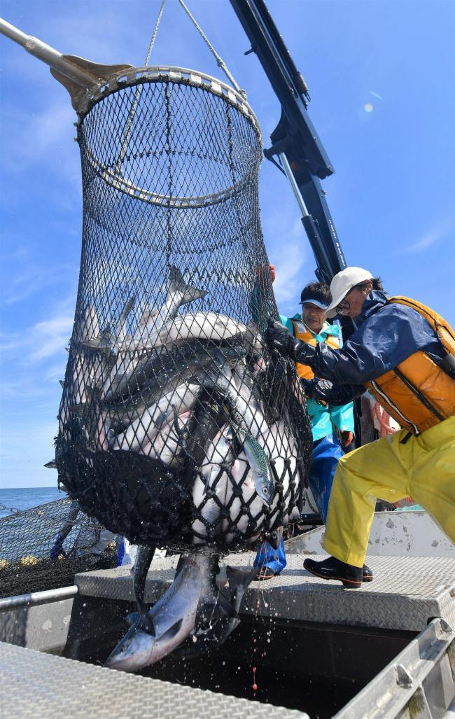 秋サケ初水揚げ 自主規制し2日遅れ 管内トップで大樹漁協