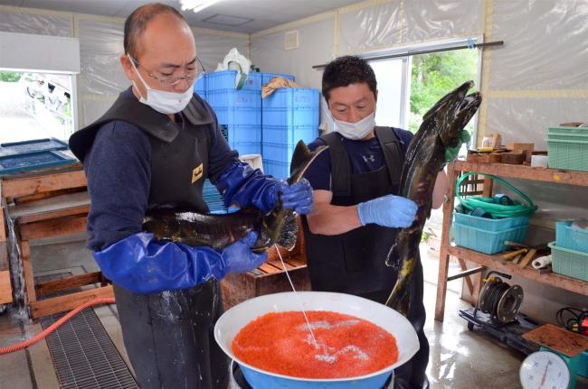サケ資源守る ふ化場で受精作業開始 広尾