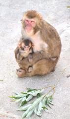 喜んで枝を食べる6月に生まれたばかりの子ザル
