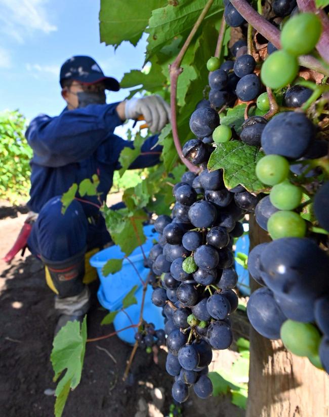 生育順調、ブドウの収穫始まる 池田