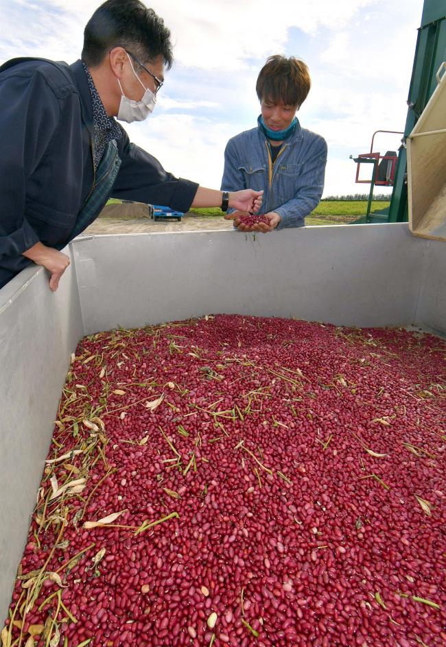 濃厚な赤紫の輝き 管内で金時の収穫が終盤