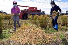 稲刈りを体験する児童