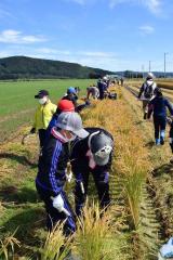 稲刈りを体験する児童ら