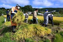 酒米に使う稲を刈り、収穫する酒文化再現プロジェクトのメンバー(16日午前9時50分ごろ、音更町の白木農場で。金野和彦撮影)