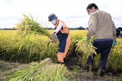 酒米に使う稲を収穫する酒文化再現プロジェクトのメンバー(16日午前9時45分ごろ、音更町の白木農場で。金野和彦撮影)