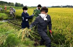 酒米に使う稲を刈り、収穫する酒文化再現プロジェクトのメンバー(16日午前9時40分ごろ、音更町の白木農場で。金野和彦撮影)