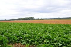 十勝の農業も終盤、豆類&ビート 2