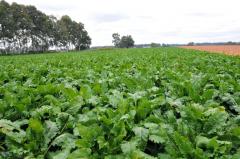 帯広市内のビート畑、農家からは「あとは寒暖の差が欲しい」との声も(17日)