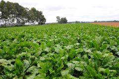 十勝の農業も終盤、豆類&ビート 5