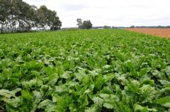 十勝の農業も終盤、豆類&ビート 6