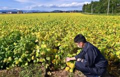 十勝の農業も終盤、豆類&ビート 8