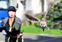 野田さんの笛の合図で、柵に向かって飛び立つエゾフクロウの「まろ」(2日、おびひろ動物園)