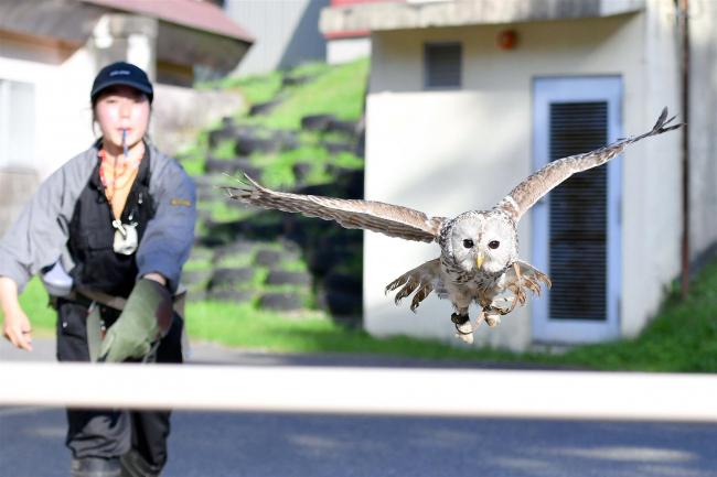 フクロウの「まろ」フリーフライトに挑戦中 おびひろ動物園