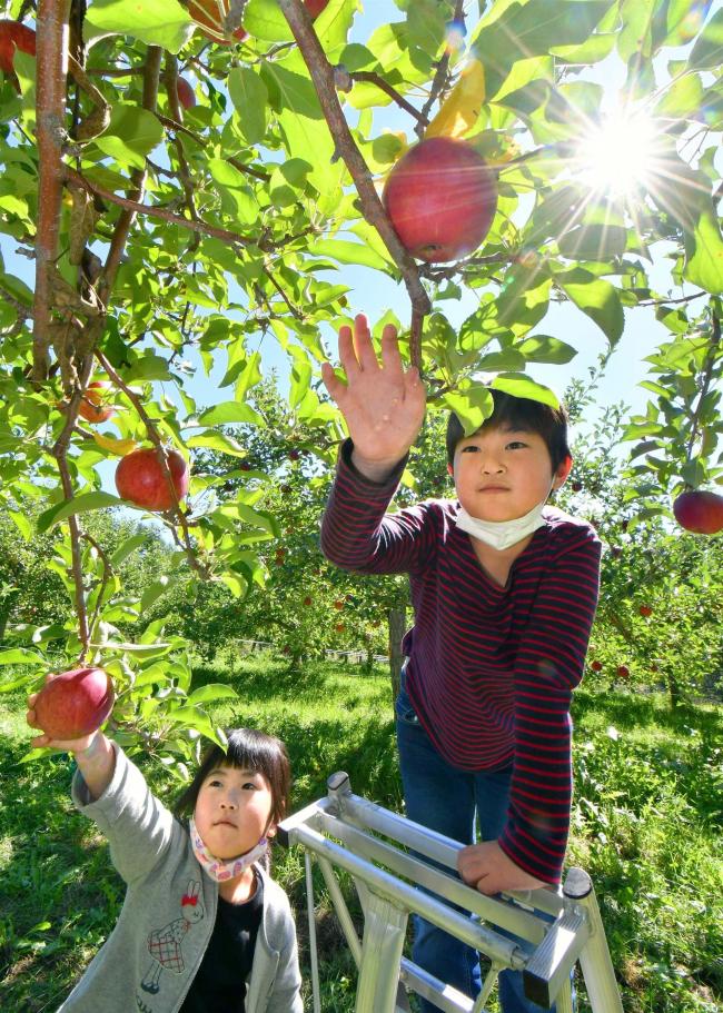 【写真】真っ赤なリンゴたわわに、松下リンゴ果樹園で収穫盛ん 芽室