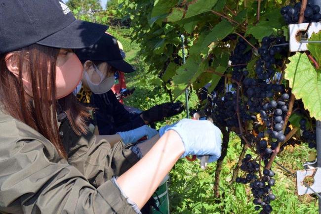 ワイナリー開設記念しブドウ収穫体験会 十勝まきばの家 池田