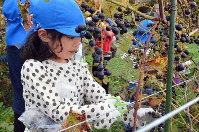 池田保育園児がブドウ狩り楽しむ 池田